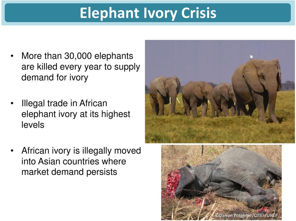 ivory at its highest levels African ivory is illegally moved into