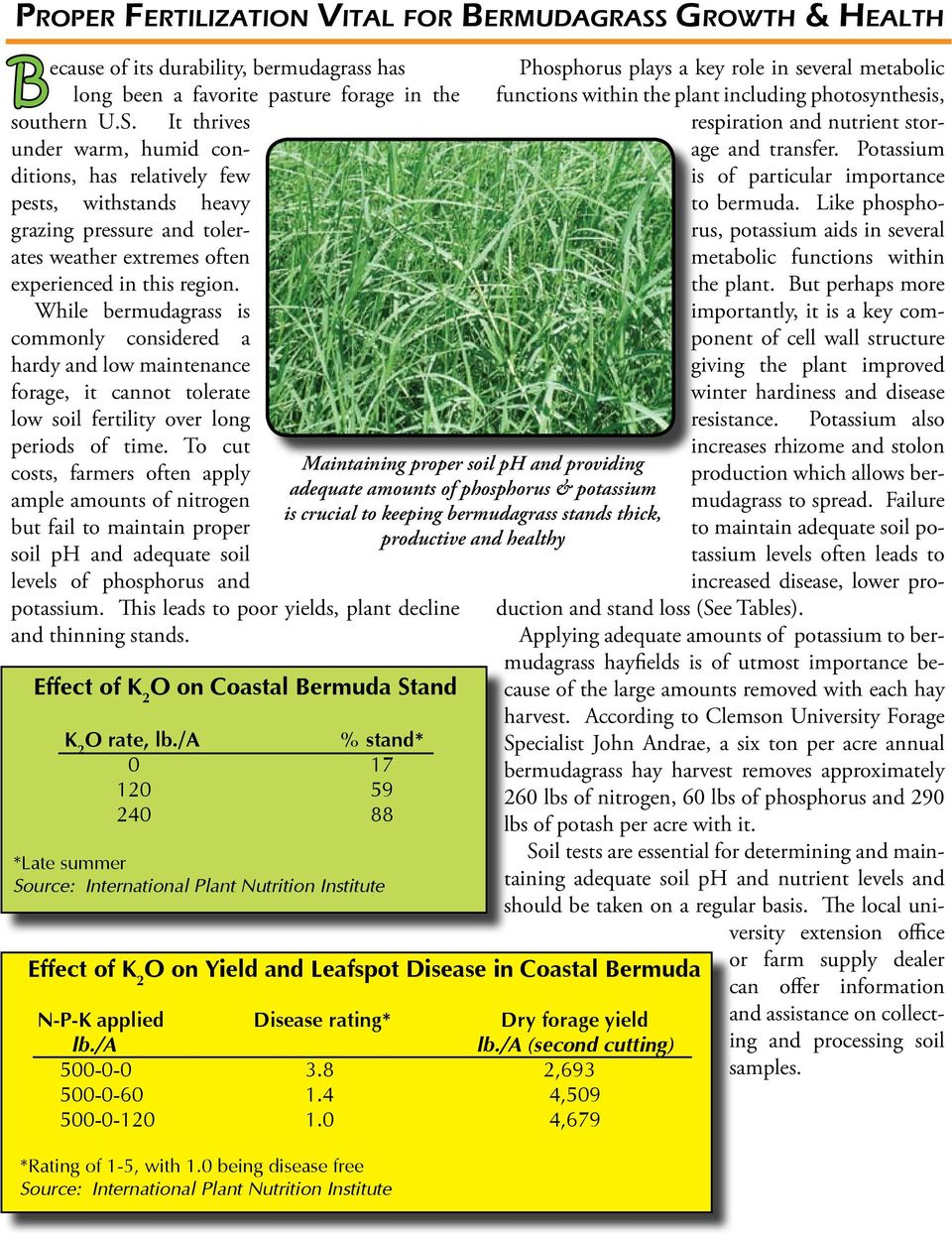 While bermudagrass is commonly considered a hardy and low maintenance forage, it cannot tolerate low soil fertility over long periods of time.