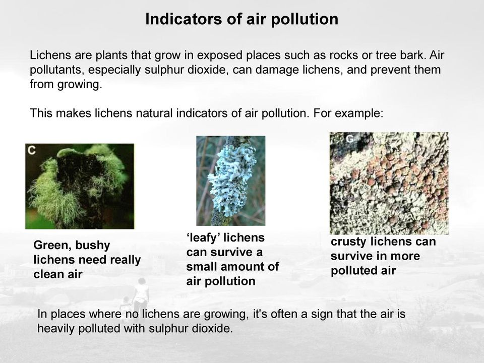 This makes lichens natural indicators of air pollution.
