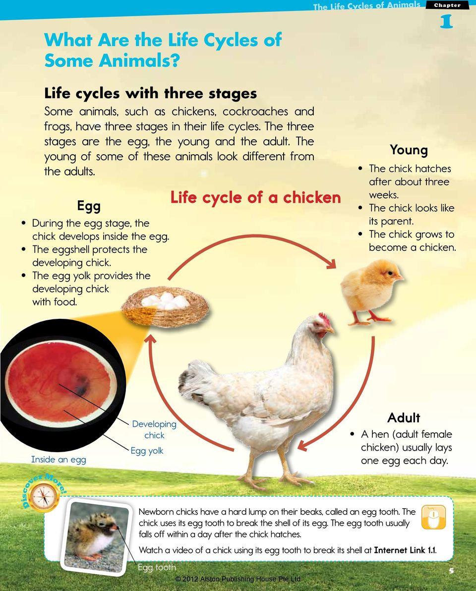 The three stages are the egg, the young and the adult. The young of some of these animals look different from the adults. Egg During the egg stage, the chick develops inside the egg.