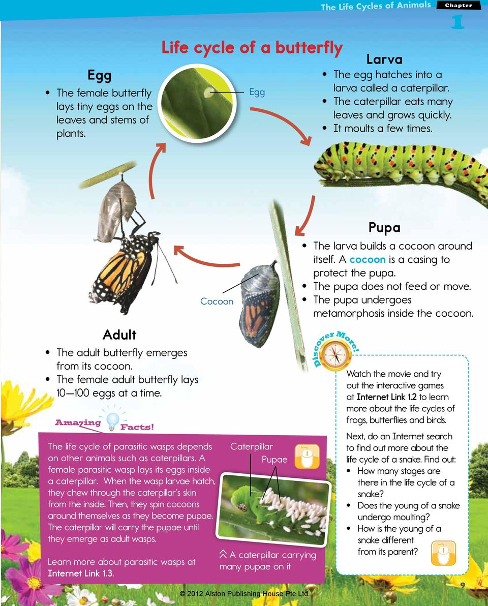 Ama ing Facts! Cocoon The life cycle of parasitic wasps depends on other animals such as caterpillars. A female parasitic wasp lays its eggs inside a caterpillar.