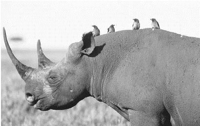 An oxpecker will perch on the backs of rhinoceros and