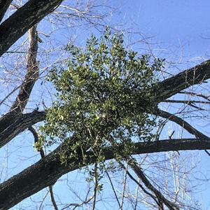Mistletoe grows on oak trees, obtaining support and food from the
