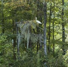 Spanish moss grows on the branches of trees