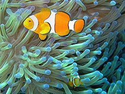 A clownfish lives among the tentacles of the sea anemone where it gathers bits