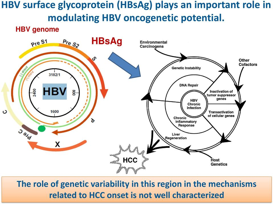 HBV genome The role of genetic variability in this