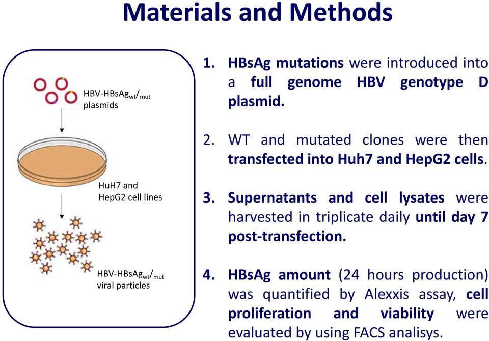 HuH7 and HepG2 cell lines HBV- wt / mut viral particles 3.