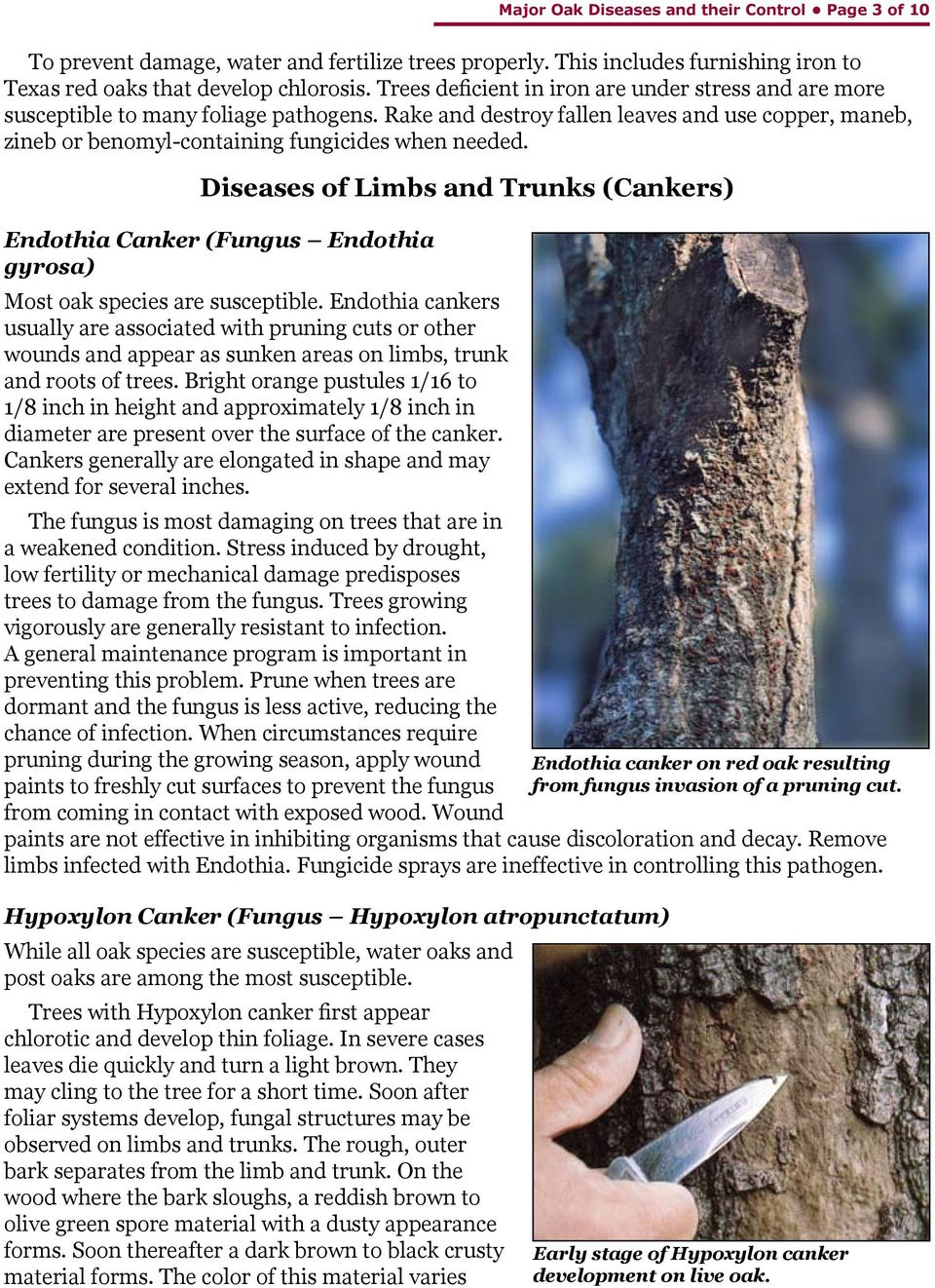 Diseases of Limbs and Trunks (Cankers) Endothia Canker (Fungus Endothia gyrosa) Most oak species are susceptible.