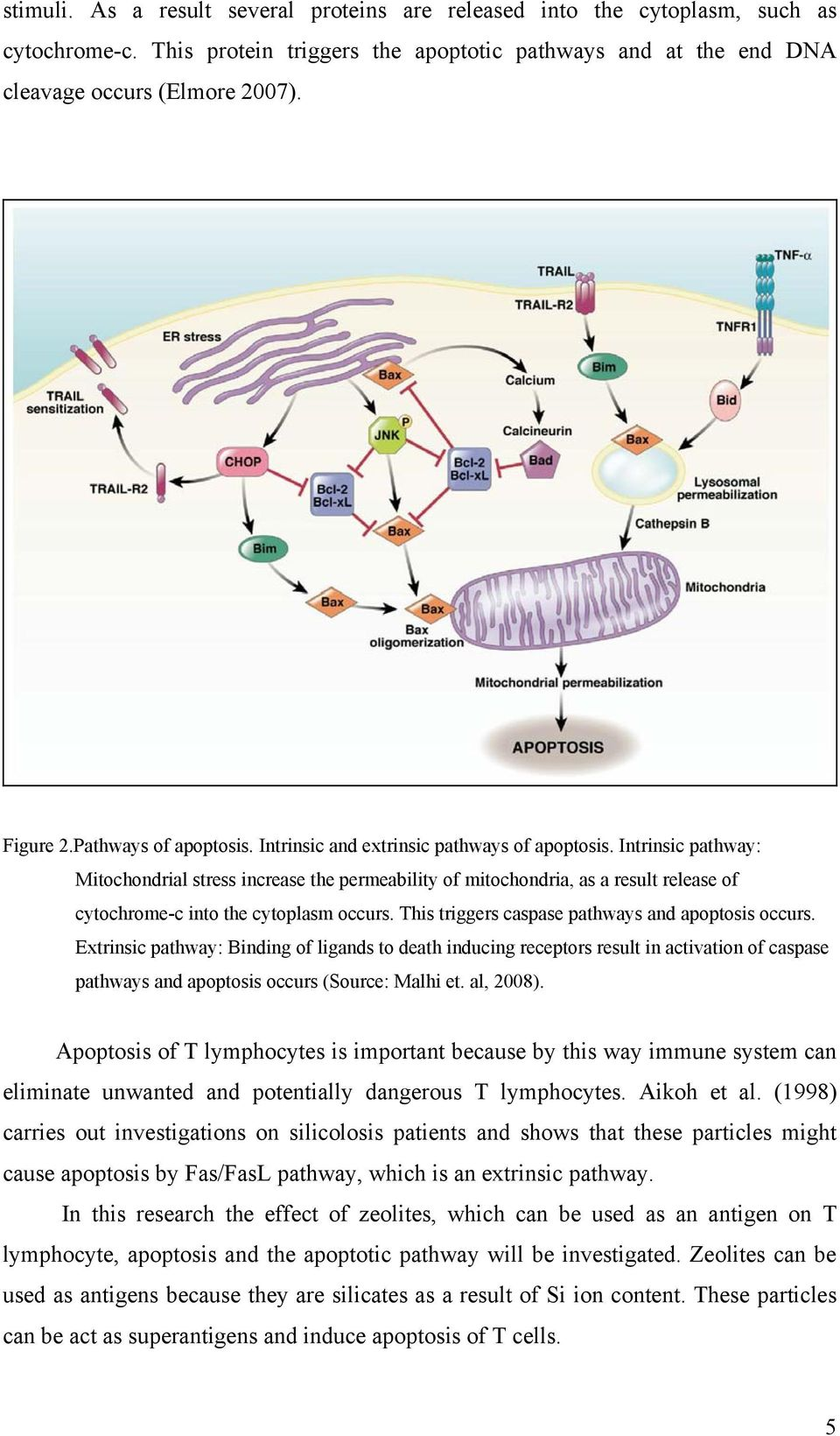 Intrinsic pathway: Mitochondrial stress increase the permeability of mitochondria, as a result release of cytochrome-c into the cytoplasm occurs. This triggers caspase pathways and apoptosis occurs.