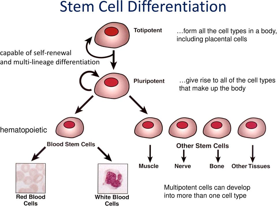 placental cells give rise to all of the cell types that make up the