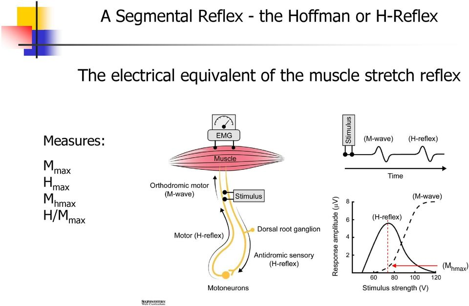 of the muscle stretch reflex