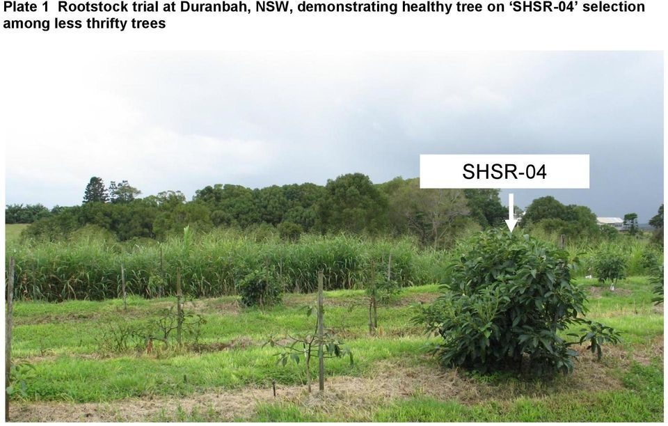 healthy tree on SHSR-04