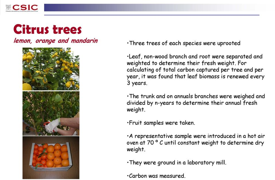 The trunk and on annuals branches were weighed and divided by n-years to determine their annual fresh weight. Fruit samples were taken.