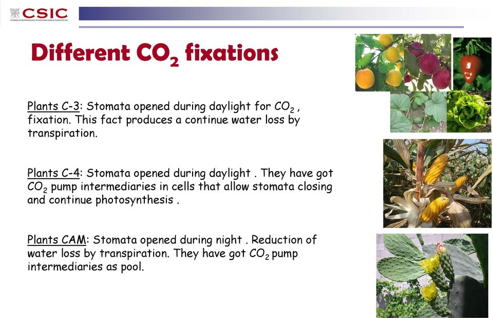 They have got CO 2 pump intermediaries in cells that allow stomata closing and continue photosynthesis.