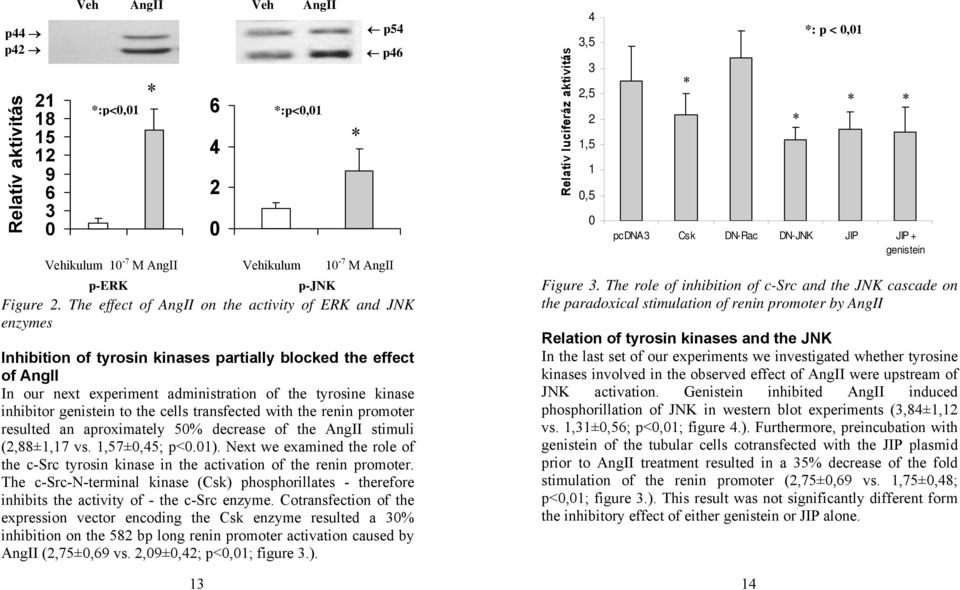 genistein to the cells transfected with the renin promoter resulted an aproximately 50% decrease of the AngII stimuli (2,88±1,17 vs. 1,57±0,45; p<0.01).