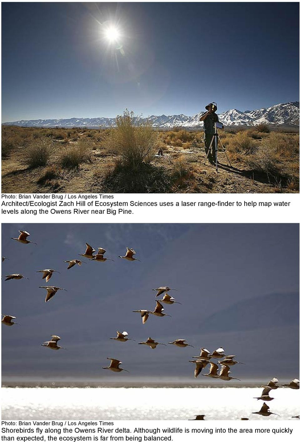 Shorebirds fly along the Owens River delta.