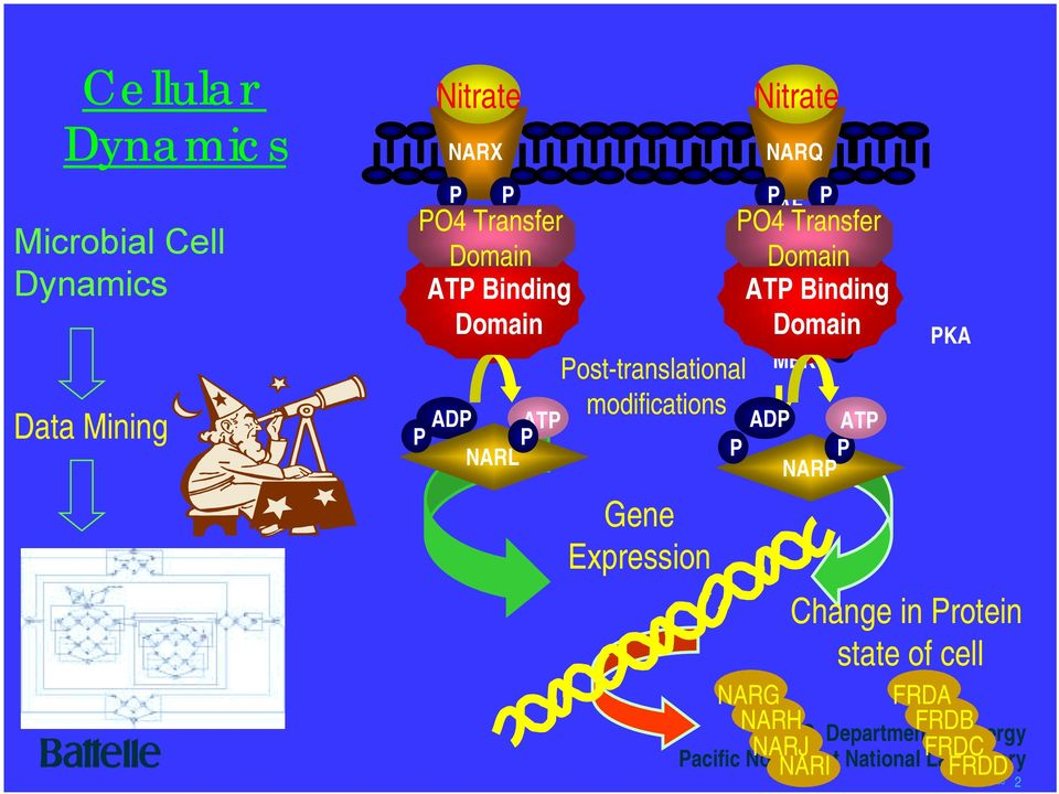 Binding Domain Post-translational MEK P modifications P ADP ATP P P NARP NARG NARH PKA Change