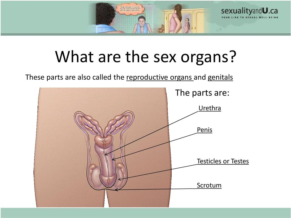 reproductive organs and genitals The