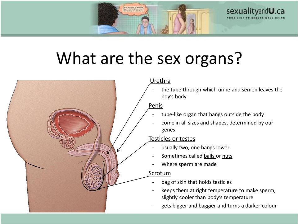 come in all sizes and shapes, determined by our genes Testicles or testes usually two, one hangs lower Sometimes