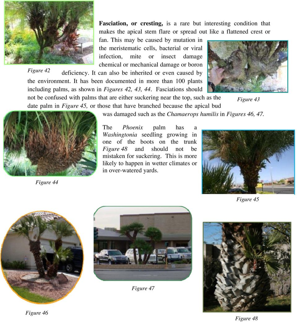 It can also be inherited or even caused by the environment. It has been documented in more than 100 plants including palms, as shown in Figures 42, 43, 44.
