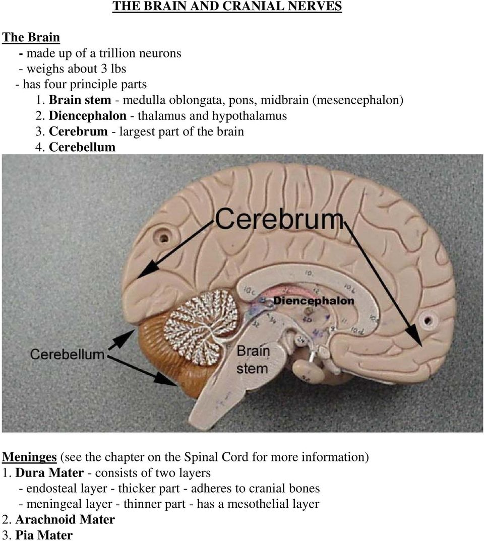 Cerebrum - largest part of the brain 4. Cerebellum Meninges (see the chapter on the Spinal Cord for more information) 1.