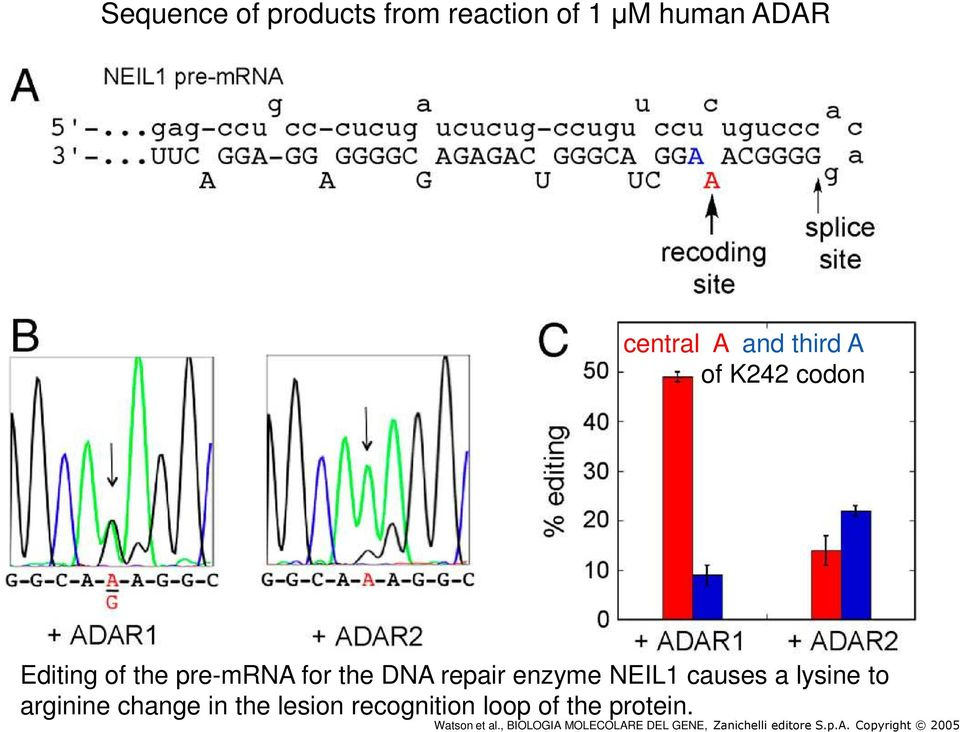 pre-mrna for the DNA repair enzyme NEIL1 causes a lysine