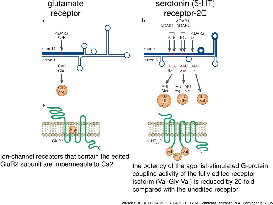 agonist-stimulated G-protein coupling activity of the fully edited receptor