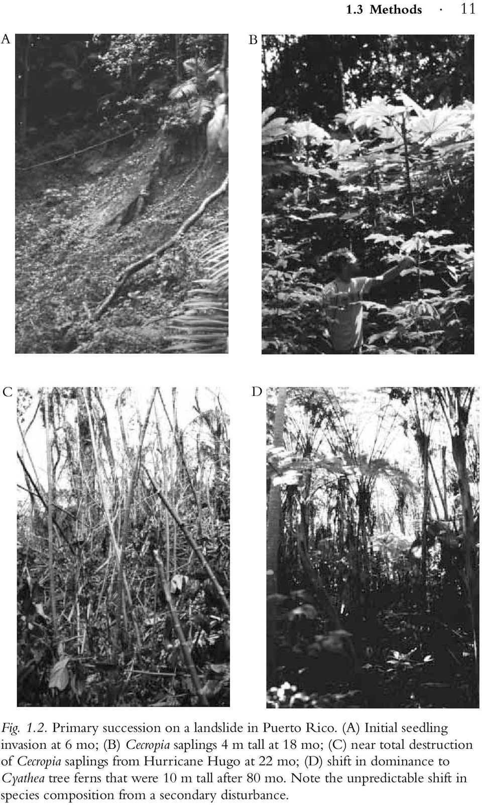 destruction of Cecropia saplings from Hurricane Hugo at 22 mo; (D) shift in dominance to Cyathea