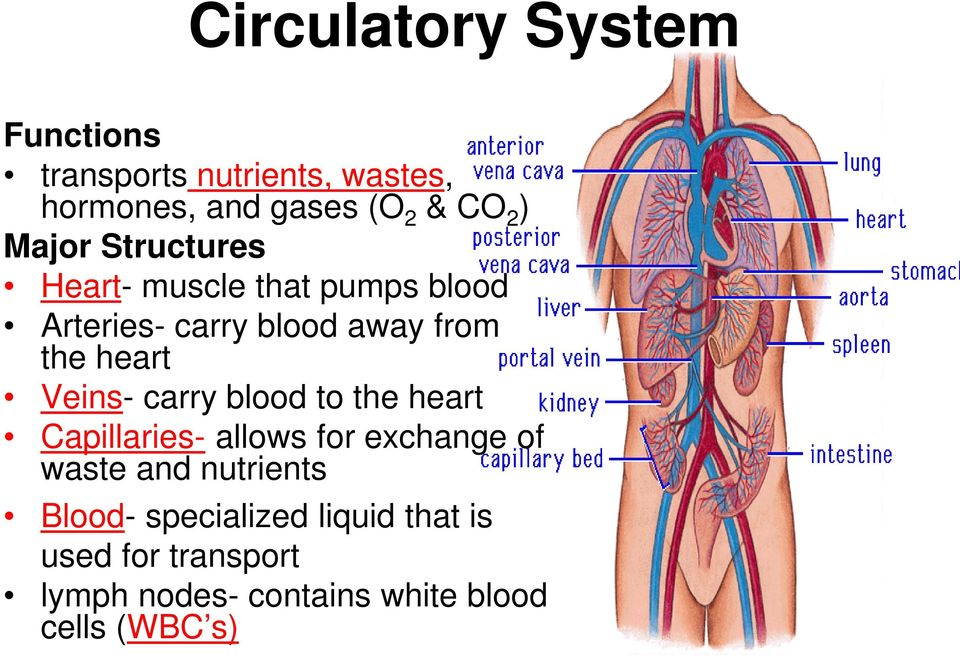 Veins- carry blood to the heart Capillaries- allows for exchange of waste and nutrients