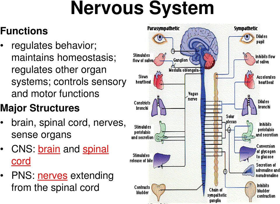 Structures brain, spinal cord, nerves, sense organs CNS: brain