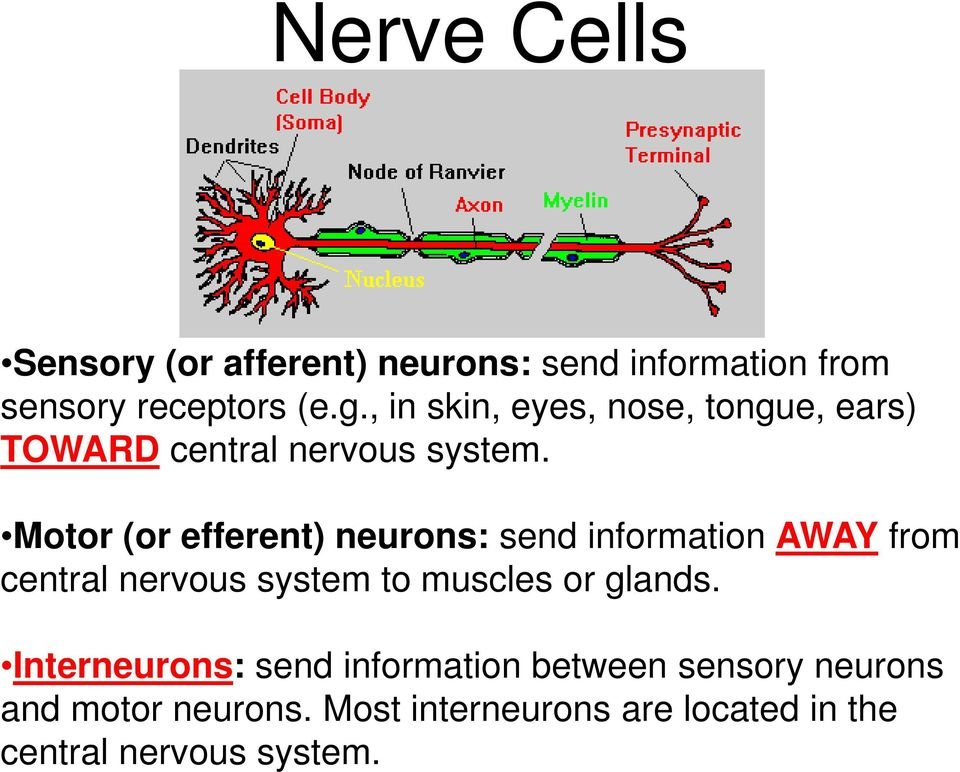 Motor (or efferent) neurons: send information AWAY from central nervous system to muscles or