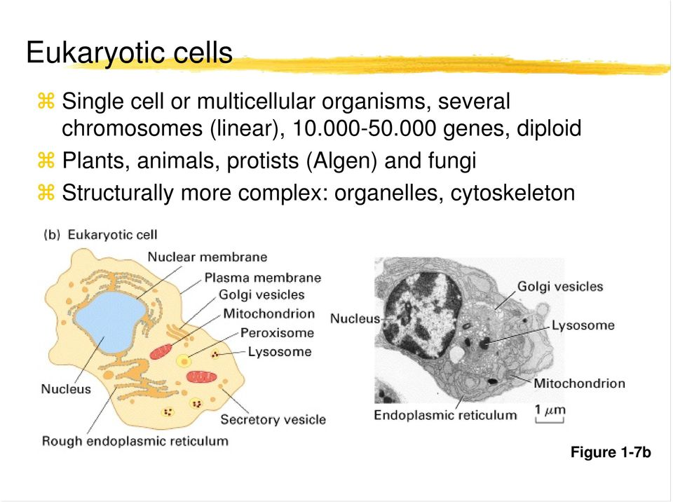 000 genes, diploid Plants, animals, protists (Algen)