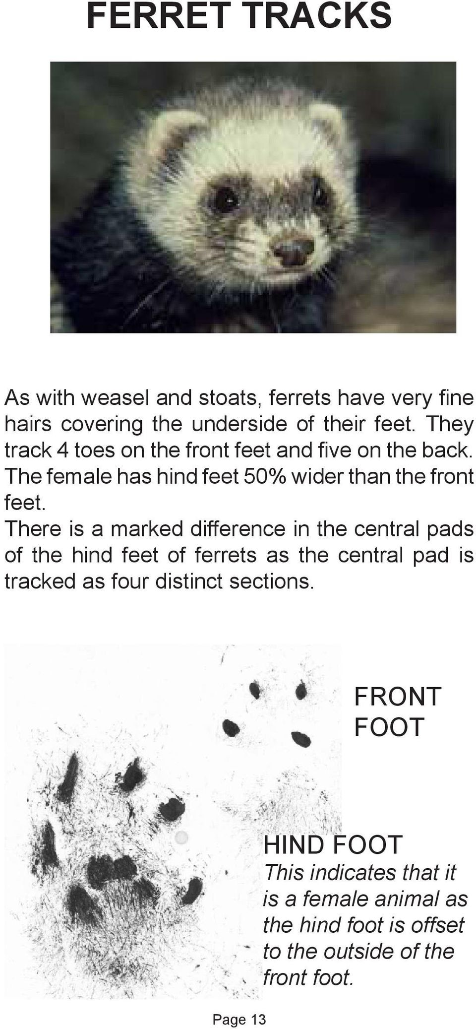 There is a marked difference in the central pads of the hind feet of ferrets as the central pad is tracked as four