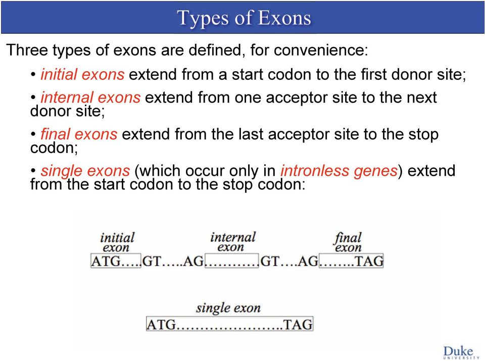 to the next donor site; final exons extend from the last acceptor site to the stop codon;