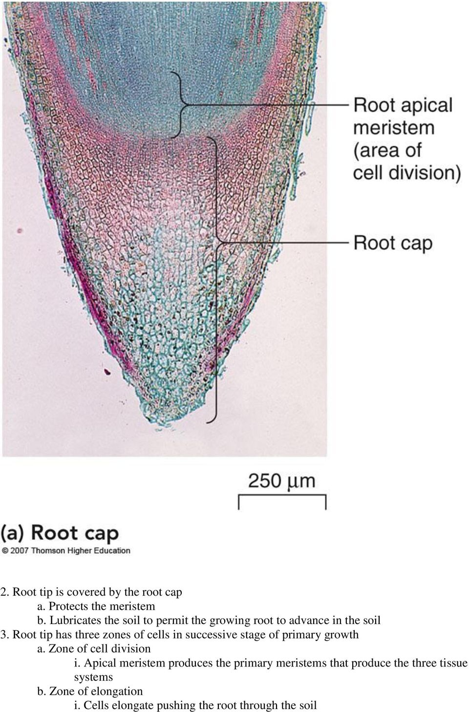 Root tip has three zones of cells in successive stage of primary growth a. Zone of cell division i.