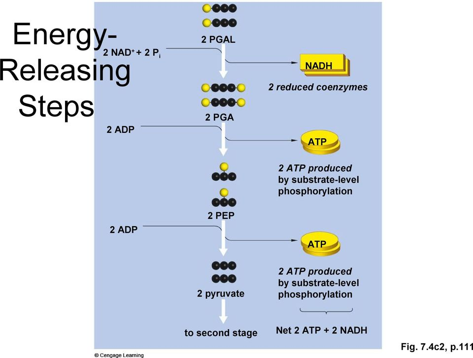 phosphorylation 2 PEP 2 ADP ATP 2 pyruvate to second stage 2 ATP
