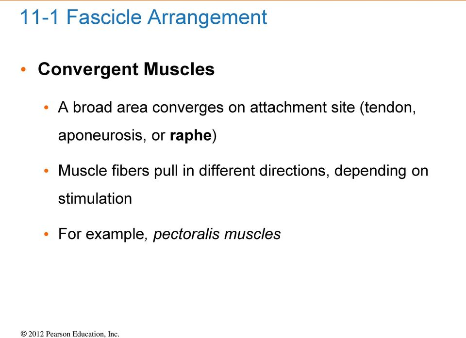 aponeurosis, or raphe) Muscle fibers pull in different