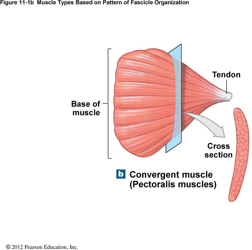 Tendon Base of muscle Convergent
