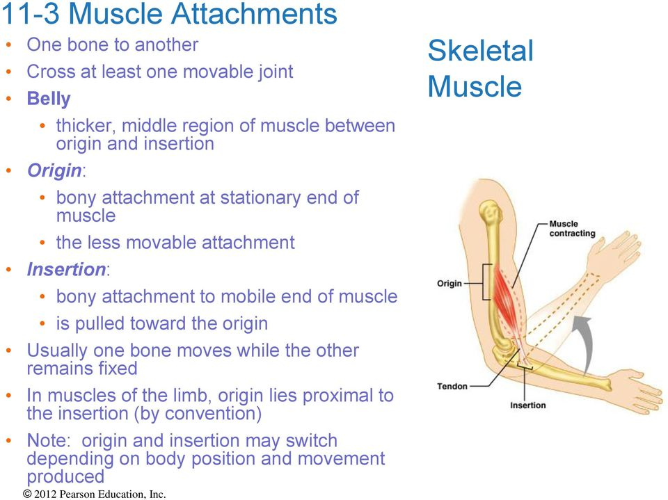 muscle is pulled toward the origin Usually one bone moves while the other remains fixed In muscles of the limb, origin lies proximal