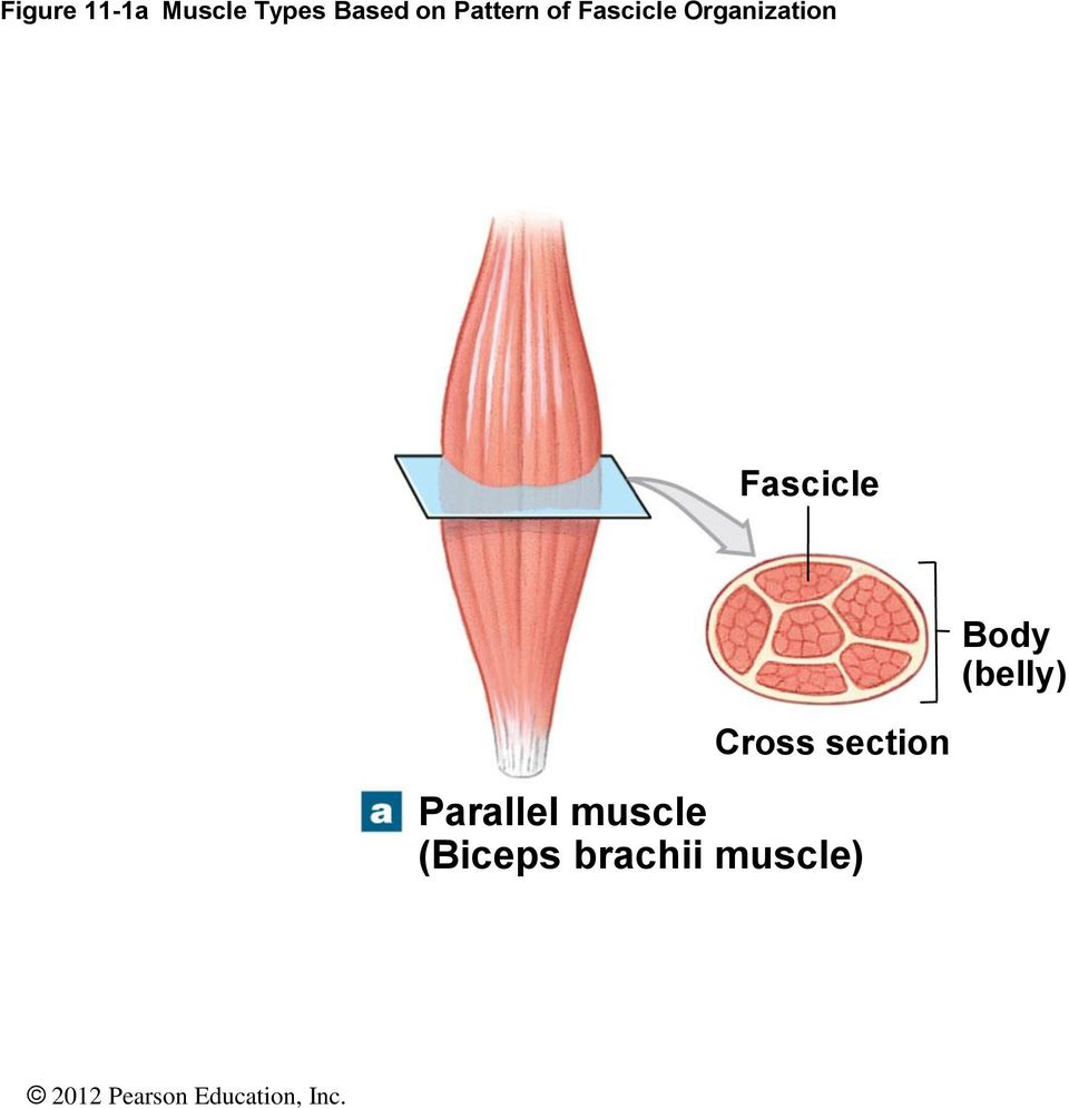 Fascicle Body (belly) Cross section