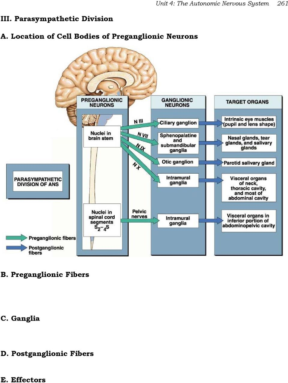 Location of Cell Bodies of Preganglionic Neurons