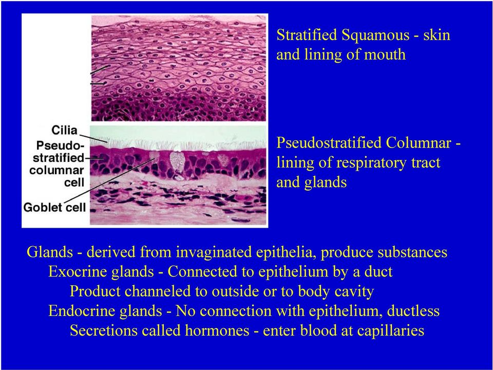 - Connected to epithelium by a duct Product channeled to outside or to body cavity Endocrine