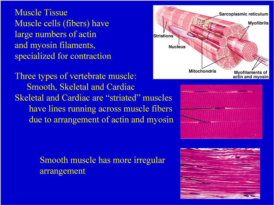 Cardiac Skeletal and Cardiac are striated muscles have lines running across muscle