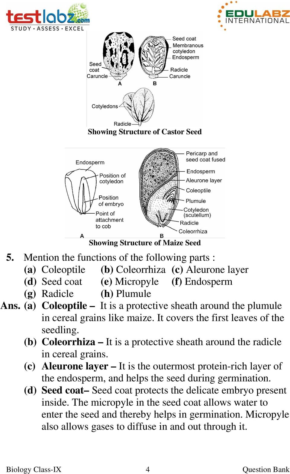 (a) Coleoptile It is a protective sheath around the plumule in cereal grains like maize. It covers the first leaves of the seedling.