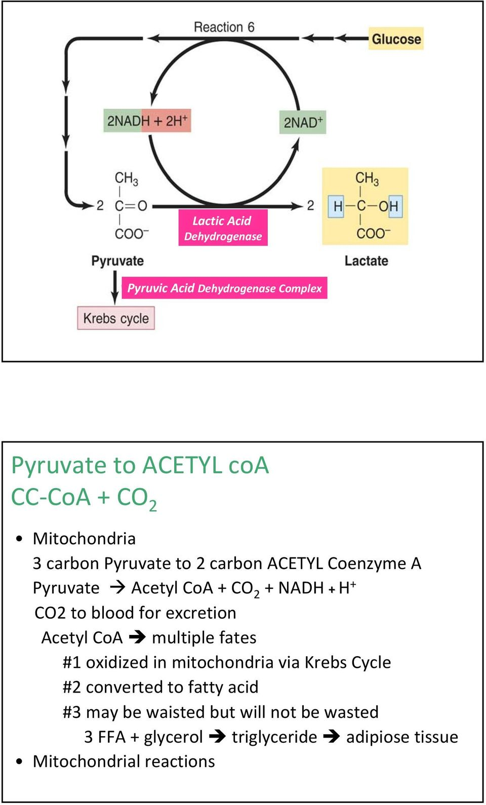 blood for excretion Acetyl CoA multiple fates #1 oxidized in mitochondria via Krebs Cycle #2 converted to