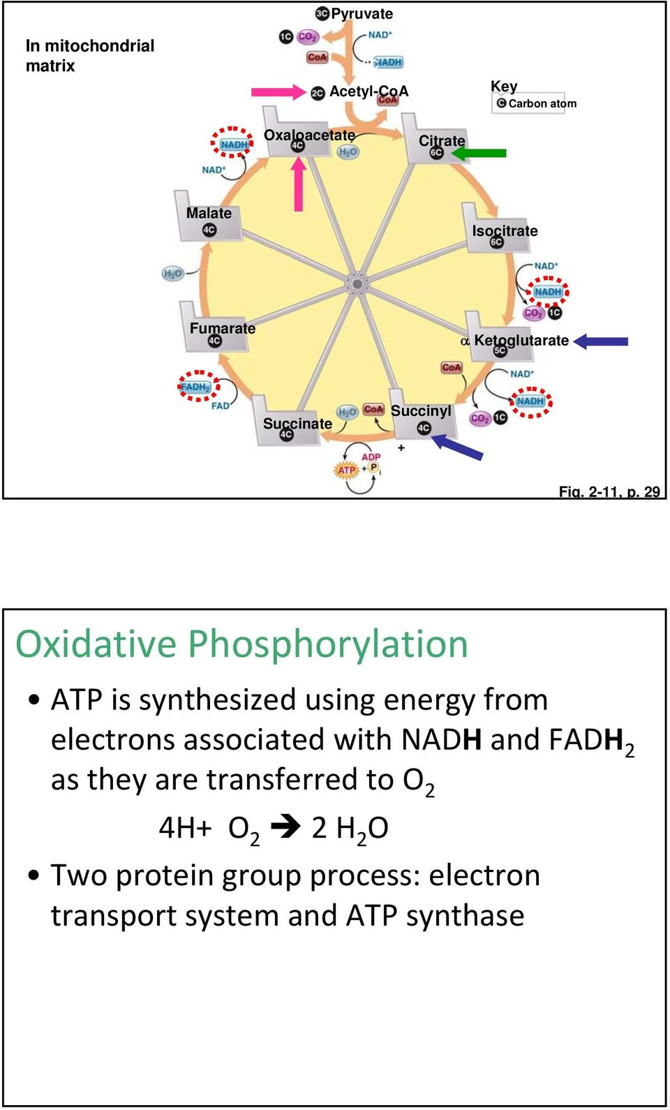 29 Oxidative Phosphorylation ATP is synthesized using energy from electrons associated with NADH and