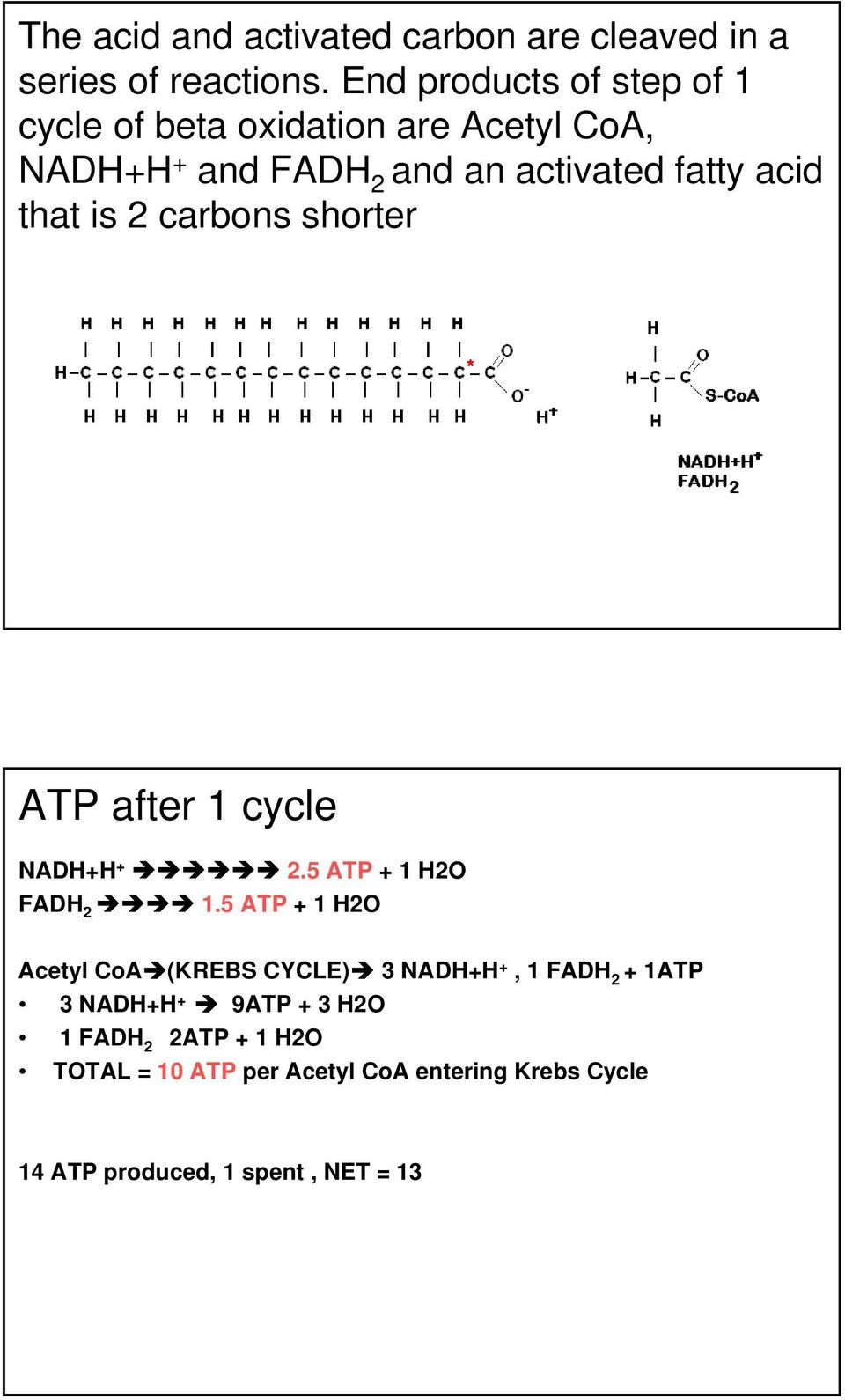 that is 2 carbons shorter ATP after 1 cycle NADH+H + 2.5 ATP + 1 H2O FADH 2 1.