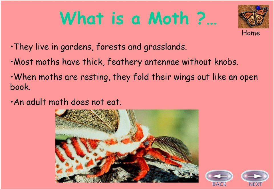 Most moths have thick, feathery antennae without