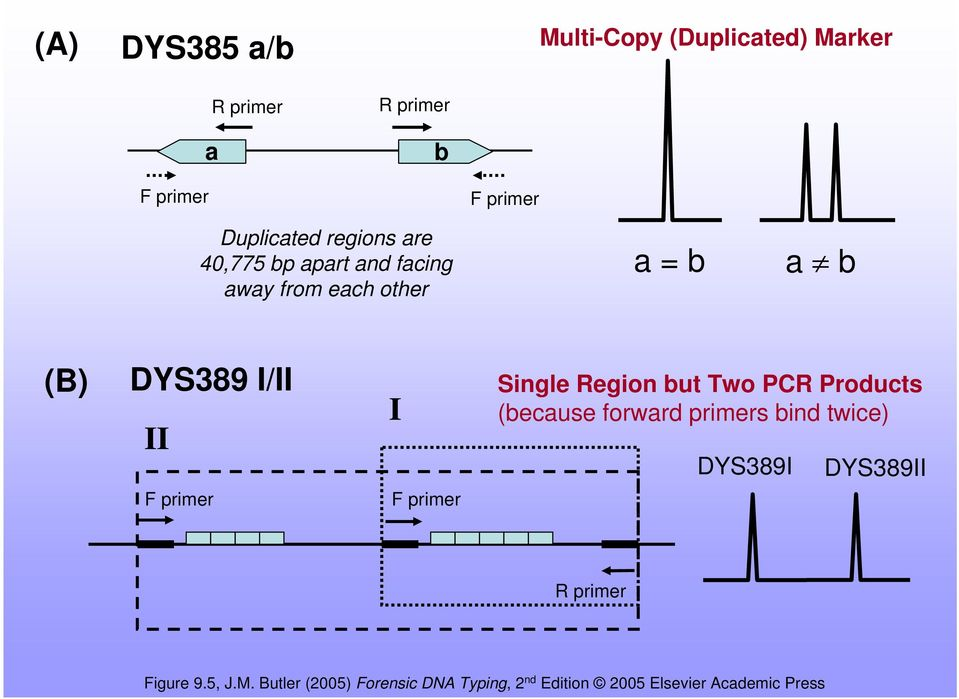 F primer Single Region but Two PCR Products (because forward primers bind twice) DYS389I DYS389II R