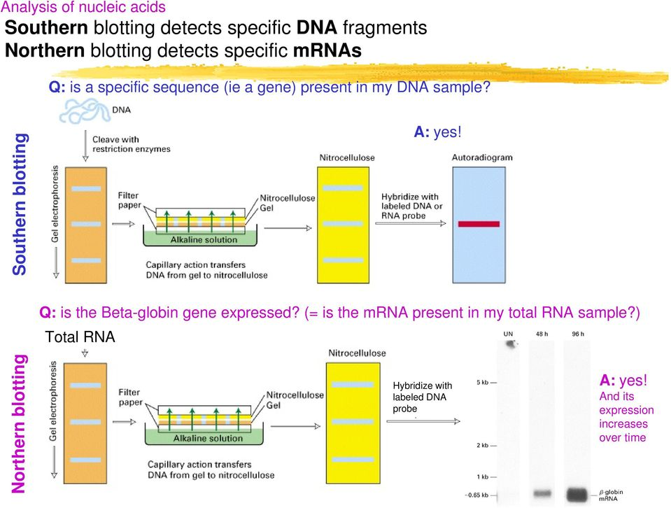 Southern blotting A: yes! Q: is the Beta-globin gene expressed?